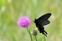 オナガアゲハとアザミ - 蝶と自然の物語