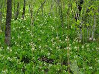 ミツガシワの群生地へ - 花ごよみ~山野草に魅せられて~