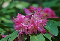 長居植物園の石楠花 - たんぶーらんの戯言