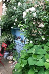 裏庭のツルアイスバーグ - 小さな庭 2