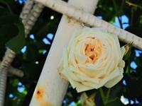 薔薇です。 - のーんびり hachisu 日記