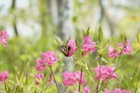 新緑のブナの林の女神達。 - 安曇野の蝶と自然