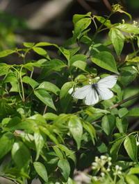 ウスバシロチョウ - 自然を楽しむ