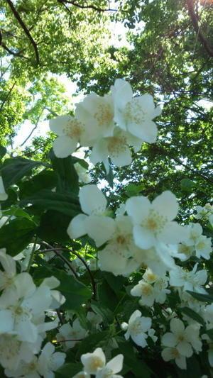 今年のうつぎの花 -