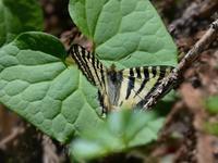 ヒメギフチョウとギフチョウの混棲 - トドの野鳥日記