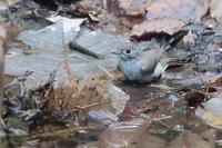 水浴びするコサメビタキ - 上州自然散策2