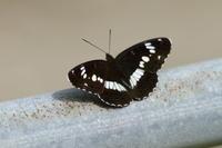 イシモンジチョウゼフの季節到来 - 蝶のいる風景blog