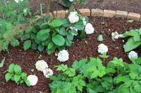 青いゲラニウムとサツマイモの苗 - ペコリの庭 *