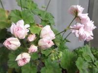 バラ咲きゼラニウム - だんご虫の花