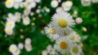 ハルジオンとヒメジョオン(春紫苑と姫女苑) - 世話要らずの庭
