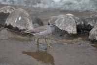 流れの早い川にてキアシシギを至近で - 私の鳥撮り散歩