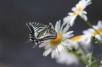 アゲハチョウナミアゲハ - 気まぐれ野鳥写真