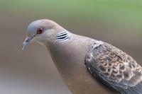 遊びに来てくれる鳩ぽっぽとちゅんちゅん - * Toypoodle  x3 + Birds *