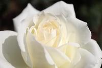 白い花を並べてみました - 56歳☆専業主婦やってます