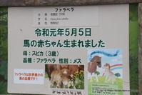 はじめまして♪ 世界最小の馬 ファラベラの赤ちゃん(生後16日目) - こらくふぁーむ