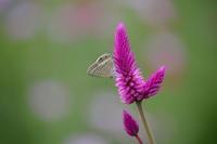 33ウラナミシジミ「蝶図鑑」 - 超蝶