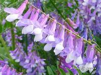 公園の各所でナヨクサフジの花が咲き出しています。 - デジカメ散歩悠々