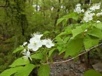 ミヤマザクラは総状花序 - 風路のこぶちさわ日記