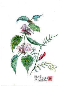 踊子草と鴉豌豆 - 清治の花便り