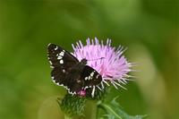ダイミョウセセリとアザミ - 蝶と自然の物語