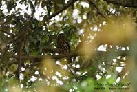 アオバズクとフクロウ巣立ち雛 - フォト エチュード  Photo-Etudes