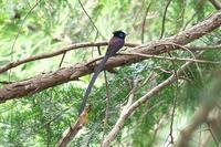 遠くのサンコウチョウとヤブサメ&キビタキ - 近隣の野鳥を探して