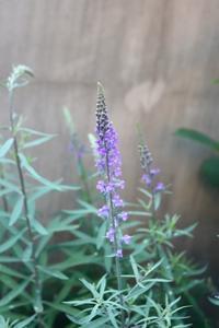 リナリアとオダマキの花 - 小さな庭 2