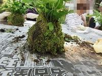 苔玉作り - さかえのファミリー