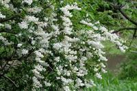 ■白い花が咲いてる19.5.21(ウツギ、エゴノキ、ガマズミ) - 舞岡公園の自然2