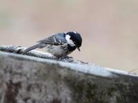 ヒガラも水浴びに来ました - コーヒー党の野鳥と自然 パート2