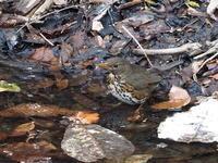 シダの池には♀もいたクロツグミ - コーヒー党の野鳥と自然 パート2