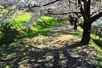 おたる桜巡り2019.....手宮公園3 - slow life-annex