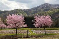 西和賀町沢内弁天島の桜後半 - 日本あちこち撮り歩記