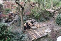 2019年3月熊猫谷その4小梅と和風くんのご飯タイム - ハープの徒然草