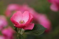 バラの季節 - ecocoro日和