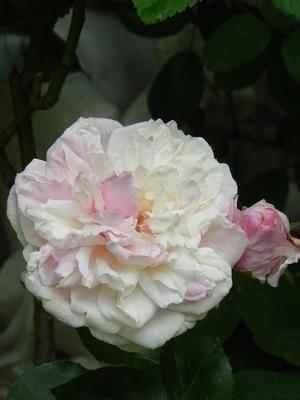 赤が似合うバラ & 庭のバラ & 「ハーブ手練り石鹸 どくだみ編」 - 心とカラダが元気になるアロマ&ハーブガーデン教室chant rose