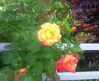 薔薇の季節 - おじさん秀之進の山中リタイヤ生活