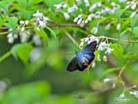 昨年より8日遅れて見られたアオバセセリ - 蝶鳥写楽