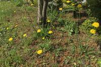 とても背の高いタンポポ:ブタナ(豚菜) - 世話要らずの庭