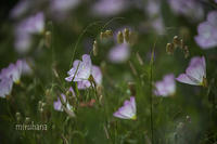 実家の庭*花だより♪ - MIRU'S PHOTO