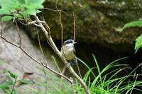 渓谷のヤマガラ雛ちゃん - 鳥と共に日々是好日