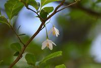 エゴの木に・・・エゴツルクビオトシブミ - 鳥と共に日々是好日