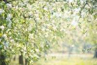 小布施町りんごの花畑 - 野沢温泉とその周辺いろいろ2