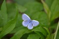 ヤマトシジミ「蝶図鑑」 - 超蝶