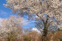 野に咲く桜 - Charlie's Scrap Book 日々是好日たわごと