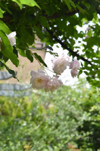 半日陰でも大丈夫な薔薇 - 小さな庭 2