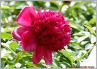 立てば芍薬の花‼ - 野鳥の素顔 <野鳥と日々の出来事>