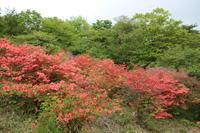伊香保森林公園のヤマツツジ (2019/5/20撮影) - toshiさんのお気楽ブログ