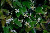 ■白い花が咲いている (2)19.5.22(テイカカズラ、スイカズラ、ハタザオ) - 舞岡公園の自然2