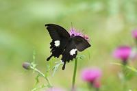 モンキアゲハアザミの園で① - 蝶のいる風景blog